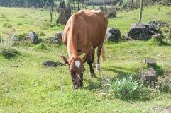 поле коровы пася Стоковые Фото
