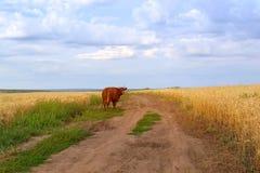поле коровы пася Стоковая Фотография RF