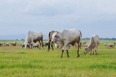 поле коровы Стоковое Фото