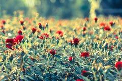 поле красной розы Стоковая Фотография