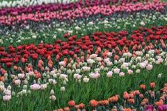 Поле красных, белых, оранжевых и розовых тюльпанов стоковое фото rf