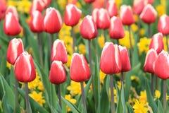 Поле красных и белых тюльпанов стоковое изображение rf