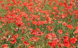 Поле красных цветков мака Стоковая Фотография RF