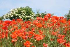 Поле красных цветков мака Стоковое Фото