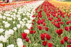 Поле красочных тюльпанов Голландии Мичигана Стоковое фото RF