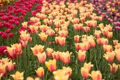 Поле красочных тюльпанов Голландии Мичигана Стоковая Фотография