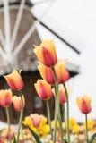 Поле красочных тюльпанов с ветрянкой Голландией Мичиганом Стоковое Фото