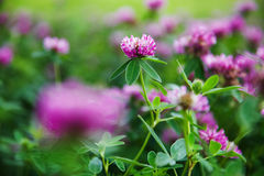 Поле клевера свежего лета цветя Стоковая Фотография
