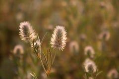 Поле клевера Цветки луга Стоковая Фотография