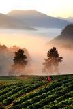 Поле клубники в тумане на горе, Чиангмае, Таиланде Стоковое Фото