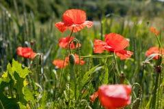 Поле мака, красивое поле маков, маков, цветков Стоковая Фотография