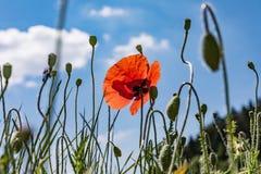 Поле мака, красивое поле маков, маков, цветков Стоковое фото RF