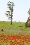 Поле мака Стоковая Фотография RF