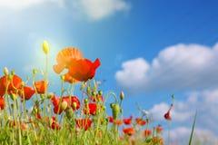 Поле маков в солнце лучей Стоковые Фото