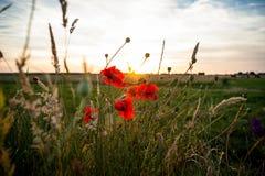 Поле маков в солнце лучей Стоковое Фото