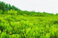 Поле мангровы стоковое изображение rf