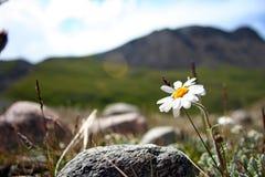 Поле маргариток и полевых цветков с горами Тянь-Шань, Кыргызстаном стоковое фото