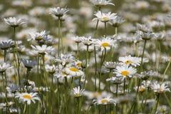 поле маргариток цветет группа фокуса передняя полная Стоковое фото RF