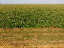 Поле мозоли и части поля склоняя пшеницы Цветеня зеленой мозоли на поле Период роста и зреть ударов мозоли Стоковая Фотография