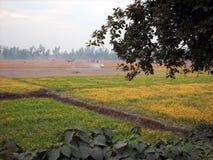Поле мустарда, Gaibandha, Бангладеш Стоковое Изображение