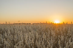 Поле на заходе солнца показывая золотые зерна Стоковое Фото