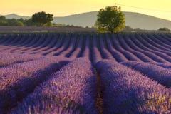 Поле на заходе солнца, Провансаль лаванды, Франция стоковое изображение