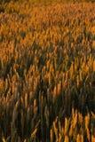 Поле на заходе солнца Стоковые Изображения