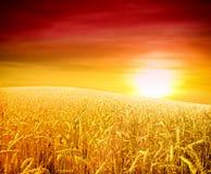 поле над пшеницей захода солнца Стоковые Изображения