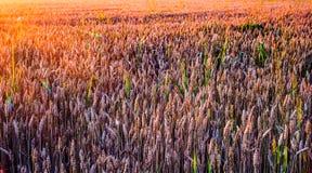 поле над пшеницей захода солнца Стоковое Фото