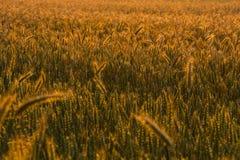 Поле на цветах захода солнца Стоковое Изображение