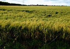 Поле немецкой пшеницы Стоковое Изображение RF