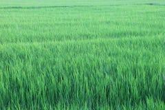 Поле неочищенных рисов Стоковое Изображение RF