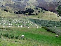 Поле овец Новой Зеландии Стоковые Фото