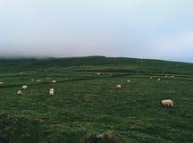 Поле овец Стоковые Фото