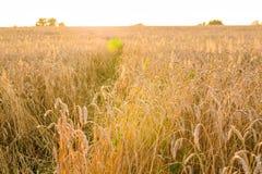 Поле овса в солнечном свете Стоковое фото RF