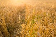 Поле овса в солнечном свете Стоковые Изображения RF
