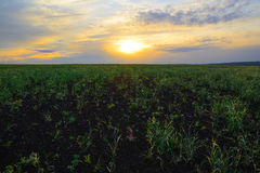 Поле овса на восходе солнца Стоковое Фото