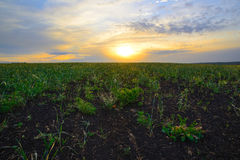 Поле овса на восходе солнца Стоковое Изображение