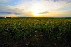 Поле овса на восходе солнца Стоковая Фотография