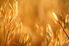 Поле овса Стоковое Изображение