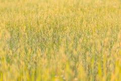 Поле овсов Стоковое Изображение