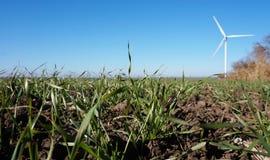 Поле озимой пшеницы Стоковые Фото