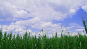Поле озимой пшеницы видеоматериал