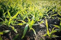Поле озимой пшеницы Стоковое Изображение