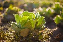 Поле дома деревни свежих зеленых органических овощей фото азиатское Солнце выделяет предпосылку росы утра запачканную травой одич Стоковое фото RF
