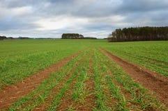 Поле осени с озимыми зерновыми культурами Стоковая Фотография