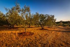 Поле оливкового дерева Стоковое фото RF