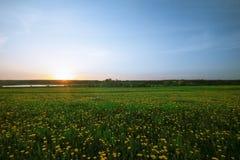 Поле одуванчика весной Стоковая Фотография