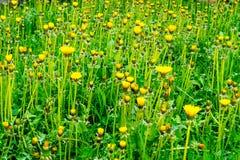 Поле одуванчиков весны Стоковые Фото