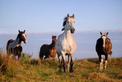 поле пасет зеленое лето лошадей табуна стоковое фото